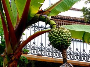 Kanarische Bananen Botanischer Garten La Orotava 2016-03-31 Foto Elke Backert