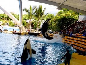 Orca-Show Loro Parque 2016-03-23 Foto Elke Backert (1)